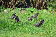 Starlings Royalty Free Stock Photos