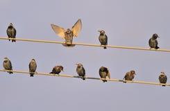 Starlings Vogel auf Drähten im Himmel Stockbilder