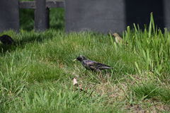Starlings walk on the grass Stock Images