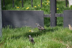 Starlings walk on the grass Royalty Free Stock Photos