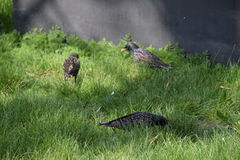 Starlings walk on the grass Stock Photos