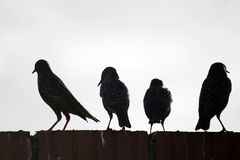 Starlings on a wall against white Stock Images