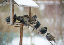 Starlings in winter Royalty Free Stock Photo