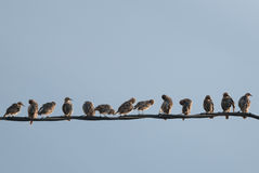 Starlings on a wire Royalty Free Stock Image