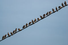 Starling migration Royalty Free Stock Photography