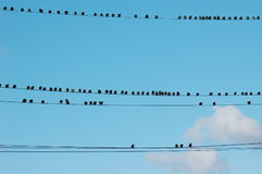Starlings on Wires Stock Images