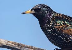 Starlingsportret Stock Fotografie