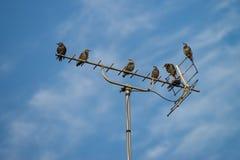 Starlingszitting op de TV-antenne stock afbeeldingen
