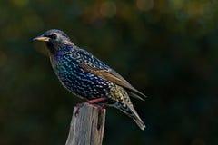 Starlingszitting op een toppositie royalty-vrije stock foto's