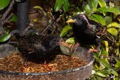 Starllings som tar ett snabbt mellanmål royaltyfria bilder
