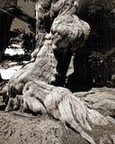 starożytne sosny bristlecone Fotografia Royalty Free