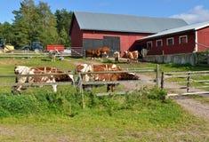 starożytne stworzenia farmy mleczarskim krajowych tradycji pracują w szczególności turystów Wielkie krowy Zdjęcia Royalty Free