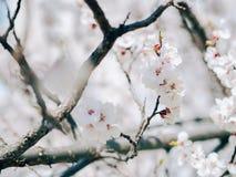 starożytny ciemności tła papieru akwareli żółty Biały ostrze i defocused kwiaty kwitnie drzewa Morelowi kwiaty Kwitnące gałąź z b obraz royalty free