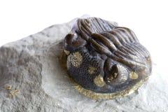 starożytna fossil Zdjęcia Royalty Free