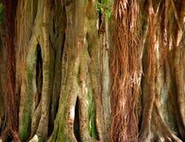 starożytny drzewo banyan Fotografia Royalty Free