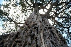 starożytny Kenya drzewo oliwne Obrazy Royalty Free