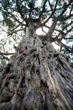starożytny Kenya drzewo oliwne Zdjęcia Stock