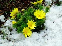 Starodubka blossoms. Spring blooms starodubka in pine forest Royalty Free Stock Photography