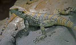 Starred agama 2 Stock Image