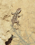 Starred Agama Royalty Free Stock Photography