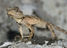 Starred Agama Royalty Free Stock Photos