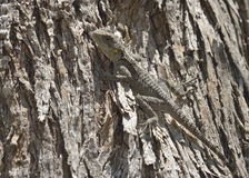 Starred Agama Stock Photography