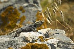 Starred Agama lizard Stock Photo