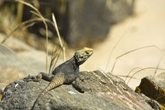 Starred Agama lizard Royalty Free Stock Image