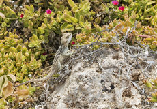 Starred Agama lizard on a rock at the island in Cyprus Royalty Free Stock Photos