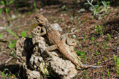 Starred Agama lizard on a rock at the island of Delos in Cyprus Stock Photos
