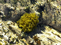Starred Cushion. A close-up view of Starred cushion algae in a rock pool at low tide stock photos