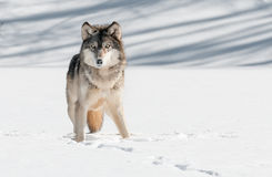 Starren Grey Wolfs (Canis Lupus) Lizenzfreie Stockfotografie