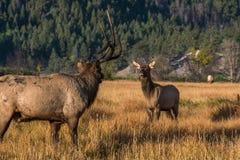 Starren-unten zwischen einem großen Stier-Elch mit einem halben Gestell und einem jungen Kalb in einer Bergwiese lizenzfreie stockfotos