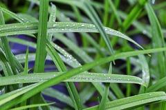 Starrgräs med daggdroppar, närbild arkivbilder