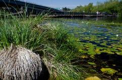 Starrgräsbuske framme av det stora fältet av näckrors Fotografering för Bildbyråer
