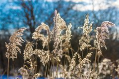 Starrgräsgräs Arkivfoton