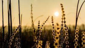 Starrgräsgräs med den mjuka rimfrost- och resningsolen Carexechinata Royaltyfri Foto