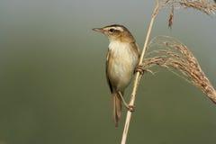 Starrgrässångare - Acrocephalusschoenobaenus Fotografering för Bildbyråer