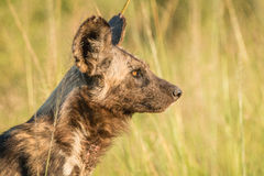 Starring African wild dog in the golden light. African wild dog starring in the golden light in the Kruger National Park, South Africa Royalty Free Stock Images