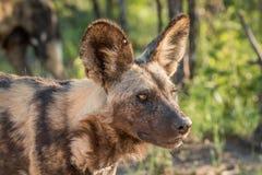 Starring African wild dog Stock Photo