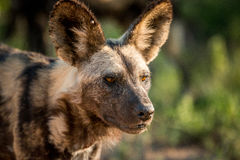 Starring African wild dog in the Kruger National Park, South Africa. Stock Photography