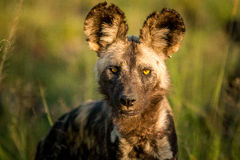 Starring African wild dog in the Kruger National Park, South Africa. Stock Images
