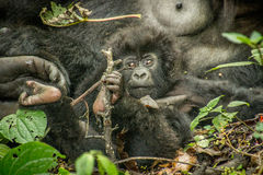 Starring baby Mountain gorilla in the Virunga National Park. Starring baby Mountain gorilla in the Virunga National Park, Democratic Republic Of Congo Royalty Free Stock Image