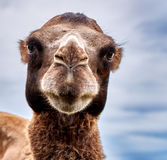 Starring camel with kind eyes. Over cloudscape background Royalty Free Stock Image