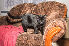 Starring cat on the couch Royalty Free Stock Image