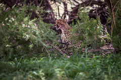 Starring Cheetah in bushes. Royalty Free Stock Photography