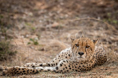 Starring Cheetah in the Kruger National Park, South Africa. Stock Image