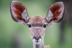 Starring female Kudu. Royalty Free Stock Photo