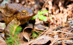 Starring frog. A photo of big brown frog starring at you with its big yellow eyes Stock Photo