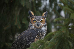 Starring Great Horned Owl. A close-up of a Great Horned Owl & x28;Bubo virginianus& x29; looking at the camera Royalty Free Stock Images
